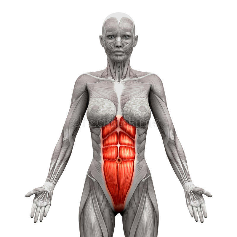Rectus Abdominis - подбрюшные мышцы - изолированные мышцы анатомии иллюстрация штока