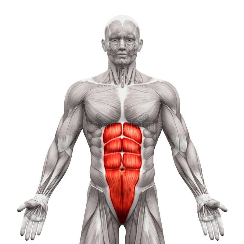 Rectus Abdominis - подбрюшные мышцы - изолированные мышцы анатомии иллюстрация вектора