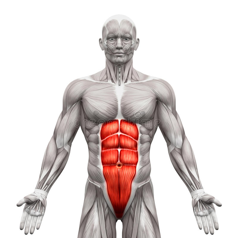 Abs muscle anatomy
