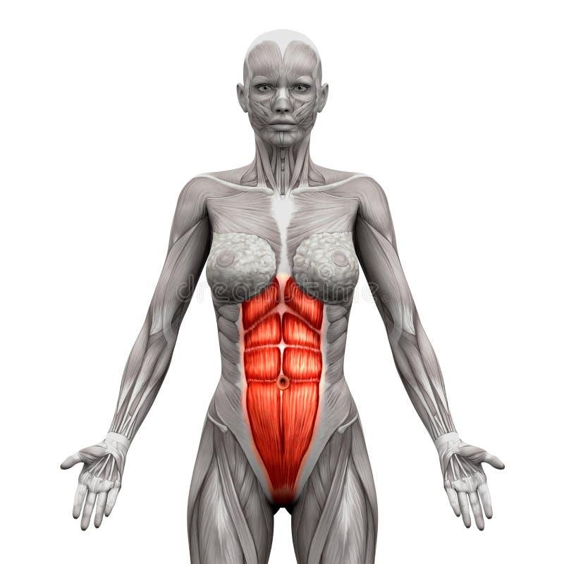 Rectus Abdominis - buk- muskler - isolerade anatomimuskler stock illustrationer