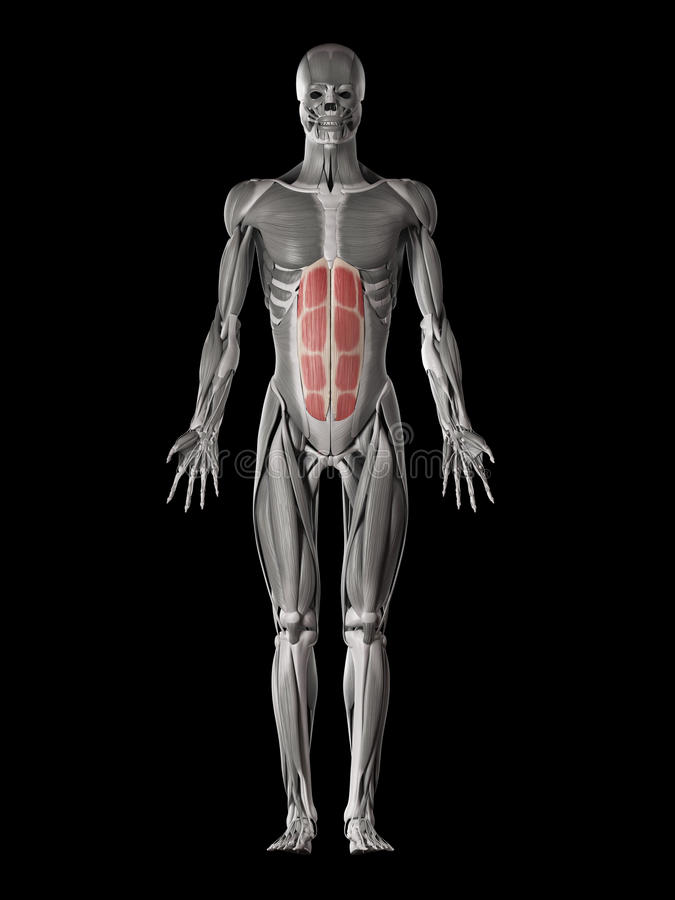 The rectus abdominis stock illustration. Illustration of science ...