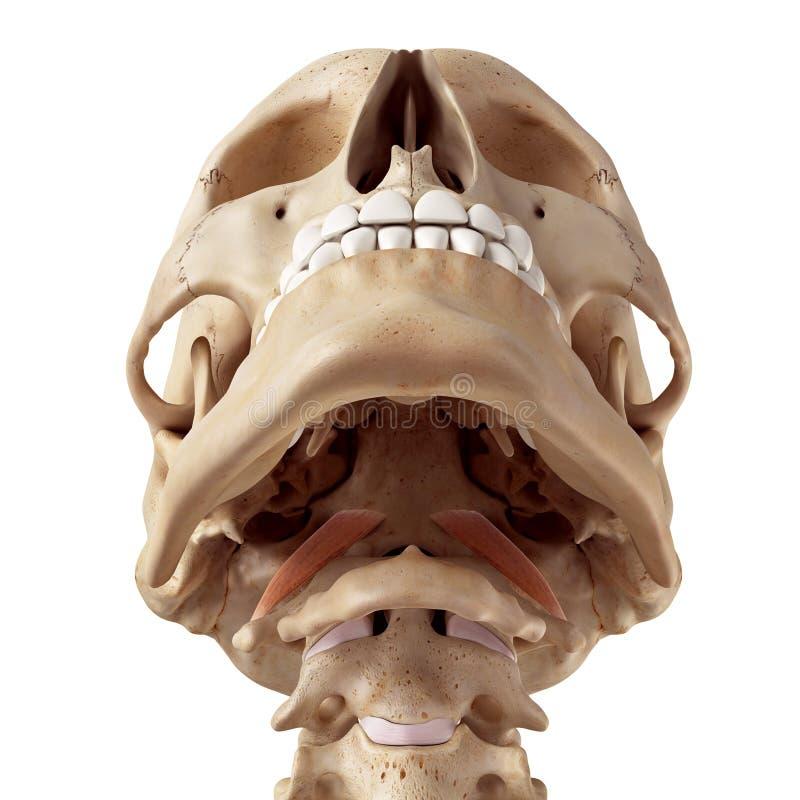 The rectus capitis anterior. Medical accurate illustration of the rectus capitis anterior stock illustration