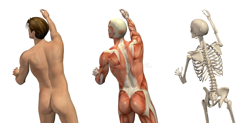 Recubrimientos anatómicos - dando vuelta y alcanzando libre illustration