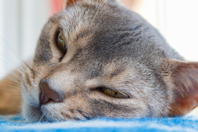 Recumbent abyssinian cat looks at the camera stock photography