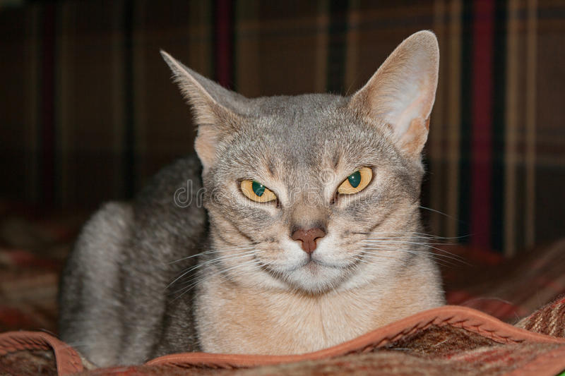 Recumbent abyssinian cat looks at the camera royalty free stock image