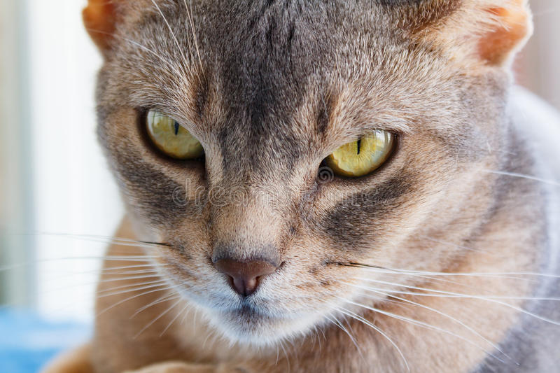 Recumbent abyssinian cat looks at the camera stock image