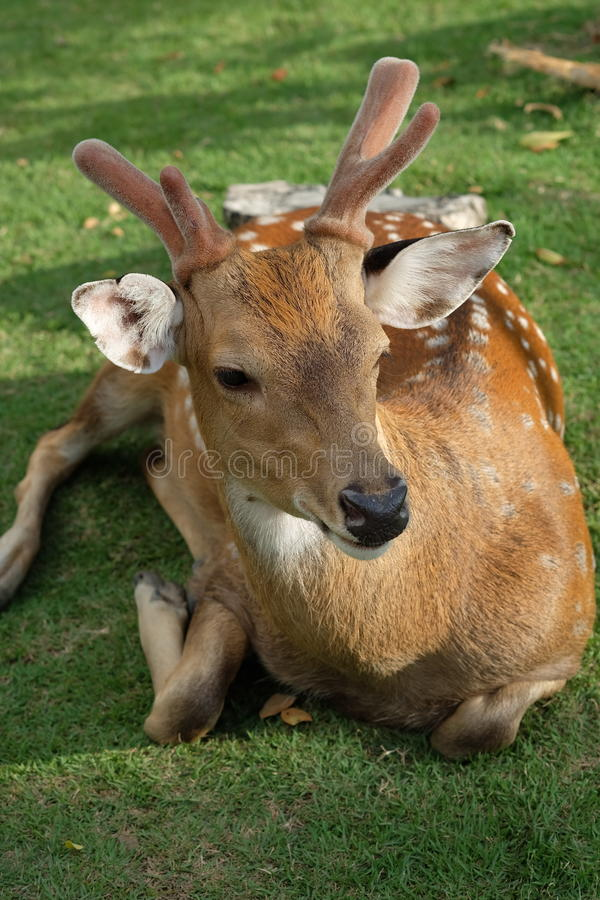 The recumbent deer on the ground. Photo of The recumbent deer on the ground royalty free stock images