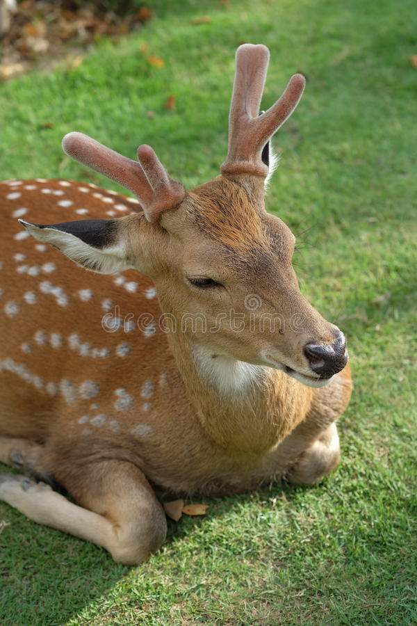 The recumbent deer on the ground. Photo of The recumbent deer on the ground stock image