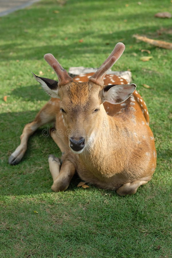 The recumbent deer on the ground. Photo of The recumbent deer on the ground royalty free stock photography