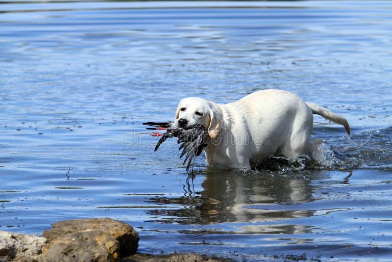 Recuperación de búsqueda amarillo agradable de Labrador foto de archivo