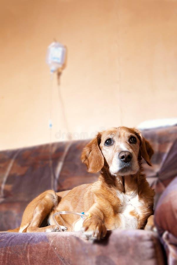 Recuperando o cão na cama que toma a infusão imagens de stock