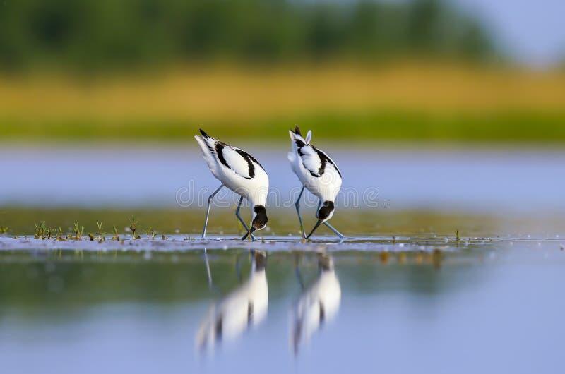 Recurvirostra avosetta 图库摄影