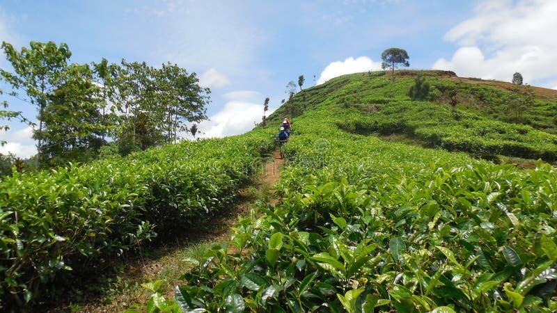 Recyclage dans la plantation de thé images stock