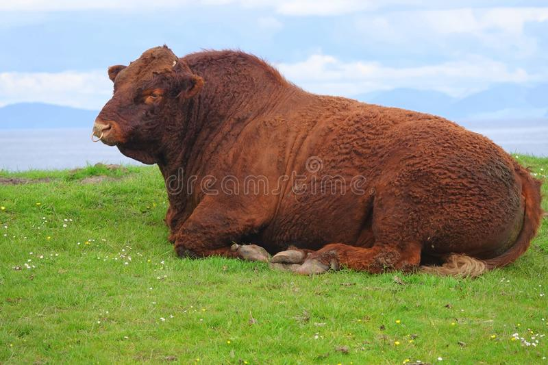 Red Aberdeen Angus bull lying in field stock images