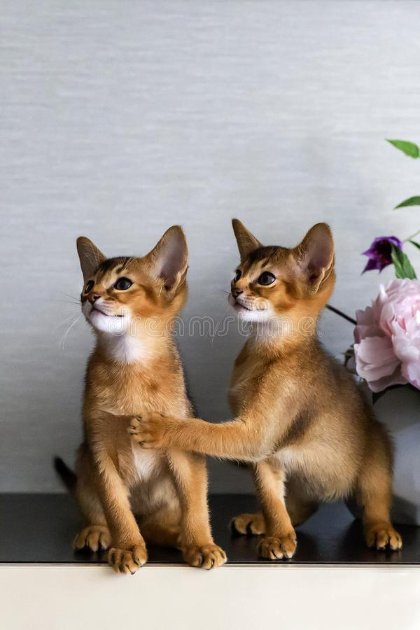 Red Abyssinian kittens are funny and cheerful royalty free stock images