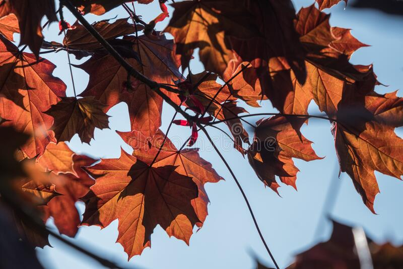 Red acer tree leaves backlit by strong summer sun royalty free stock image