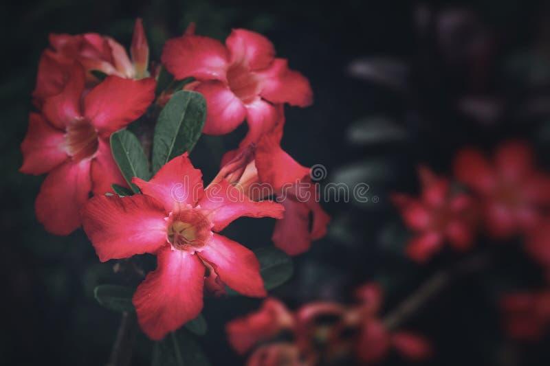 Red adenium blooming in park. stock image