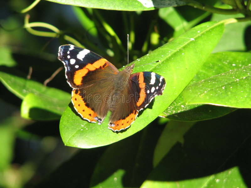 Red admiral stock images