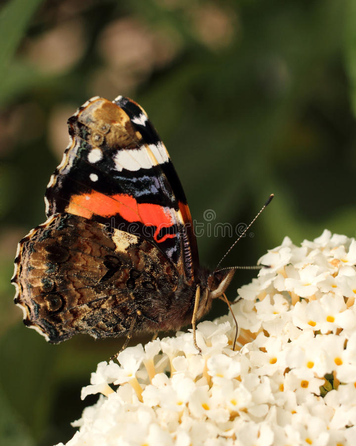 Download Red Admiral butterfly stock photo. Image of settled, plants - 15823024