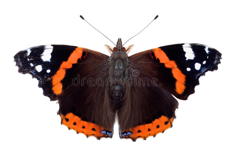 Red Admiral butterfly. Isolated on white royalty free stock photos