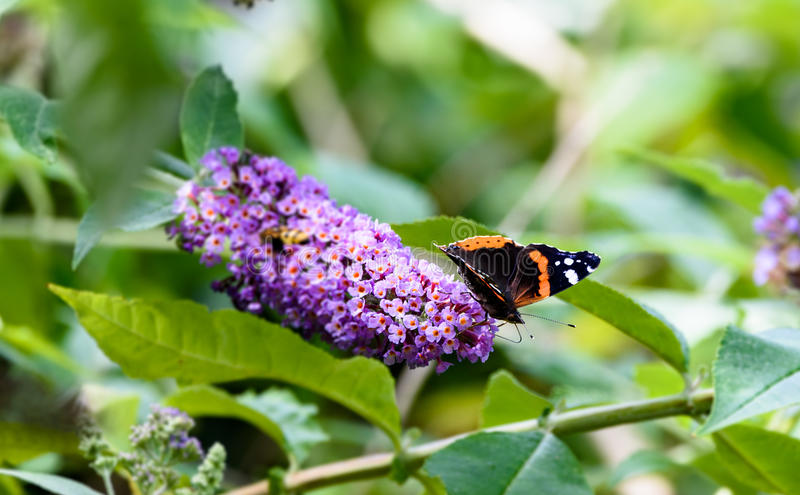 Red admiral on butterfly bush stock photography