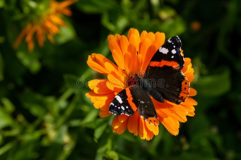 A red admiral butterfly on a daisy petal royalty free stock photo