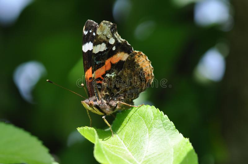Red Admiral Butterfly detail. Detail of Red-Admiral Butterfly warming under the sun rays royalty free stock photo