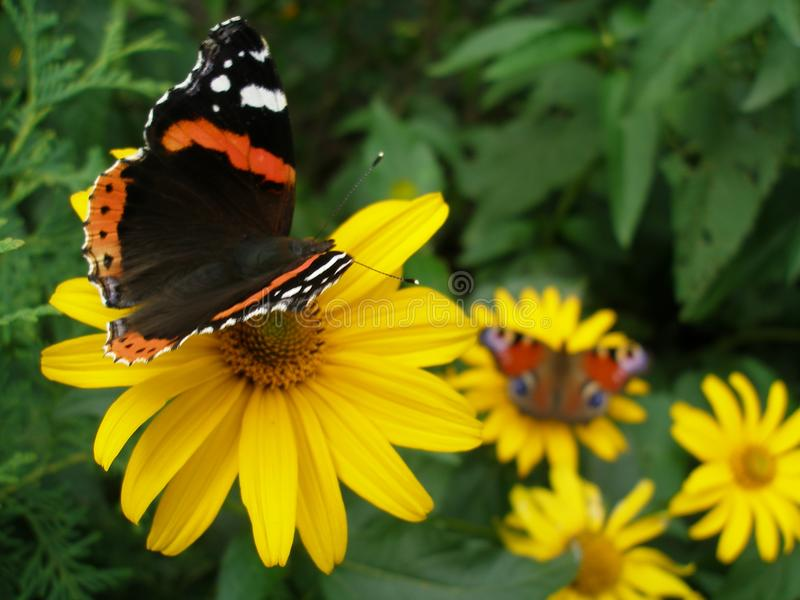 Red Admiral and European Peacock butterflies stock images