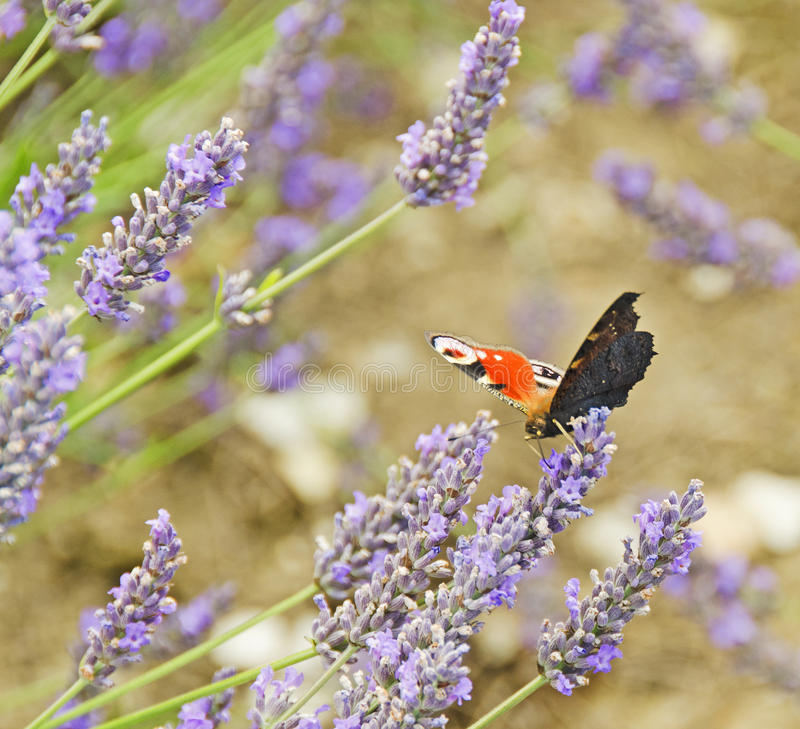 Peacock Butterfly. A Peacock Butterfly feeding on Lavender in Hertfordshire in England stock photos