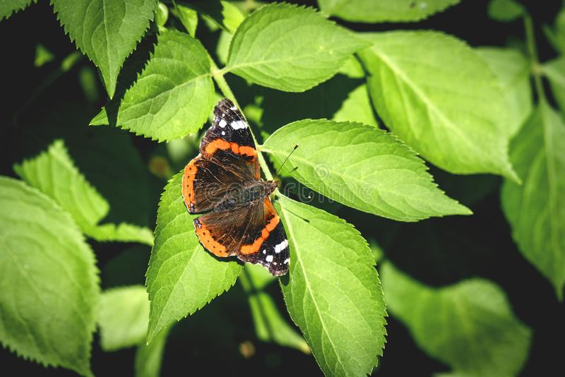 Red Admiral butterfly on a green leaf. In a garden royalty free stock photo