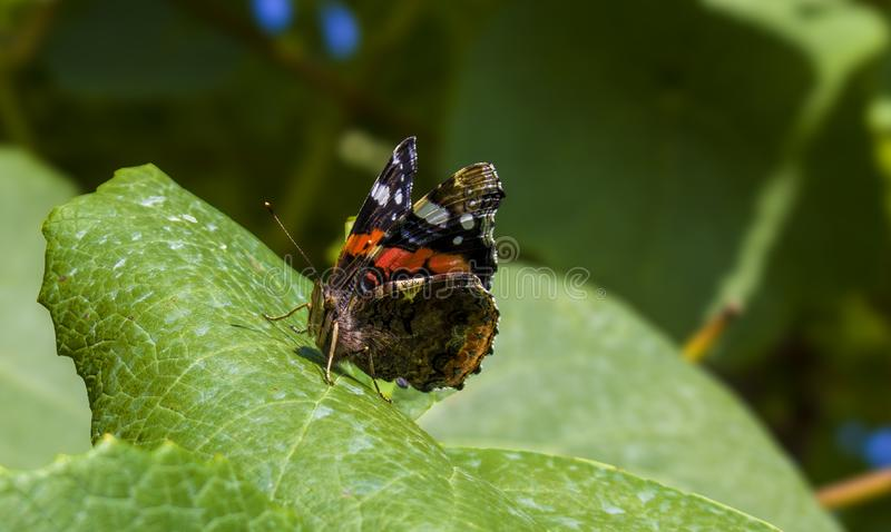Red Admiral butterfly on a green leaf stock photography