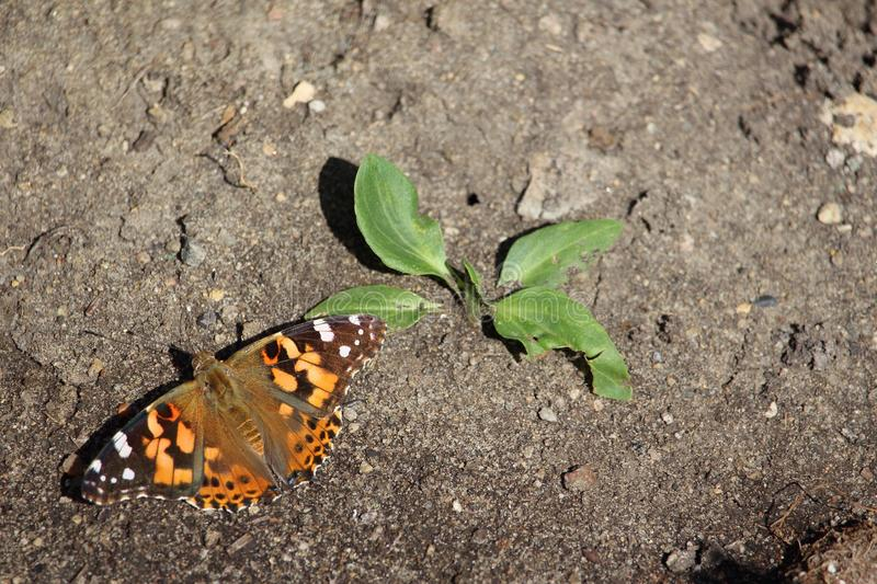 Red Admiral Butterfly on ground stock images