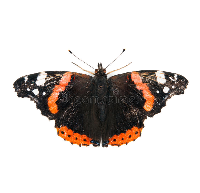 Red Admiral butterfly isolated on white royalty free stock photo