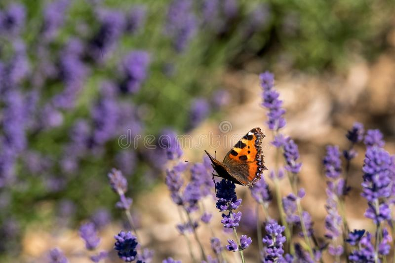 Red admiral butterfly lands on the flower head at lavender farm in the Cotswolds UK. Close up view of lavender growing on a flower farm in the Cotswolds, in stock photography