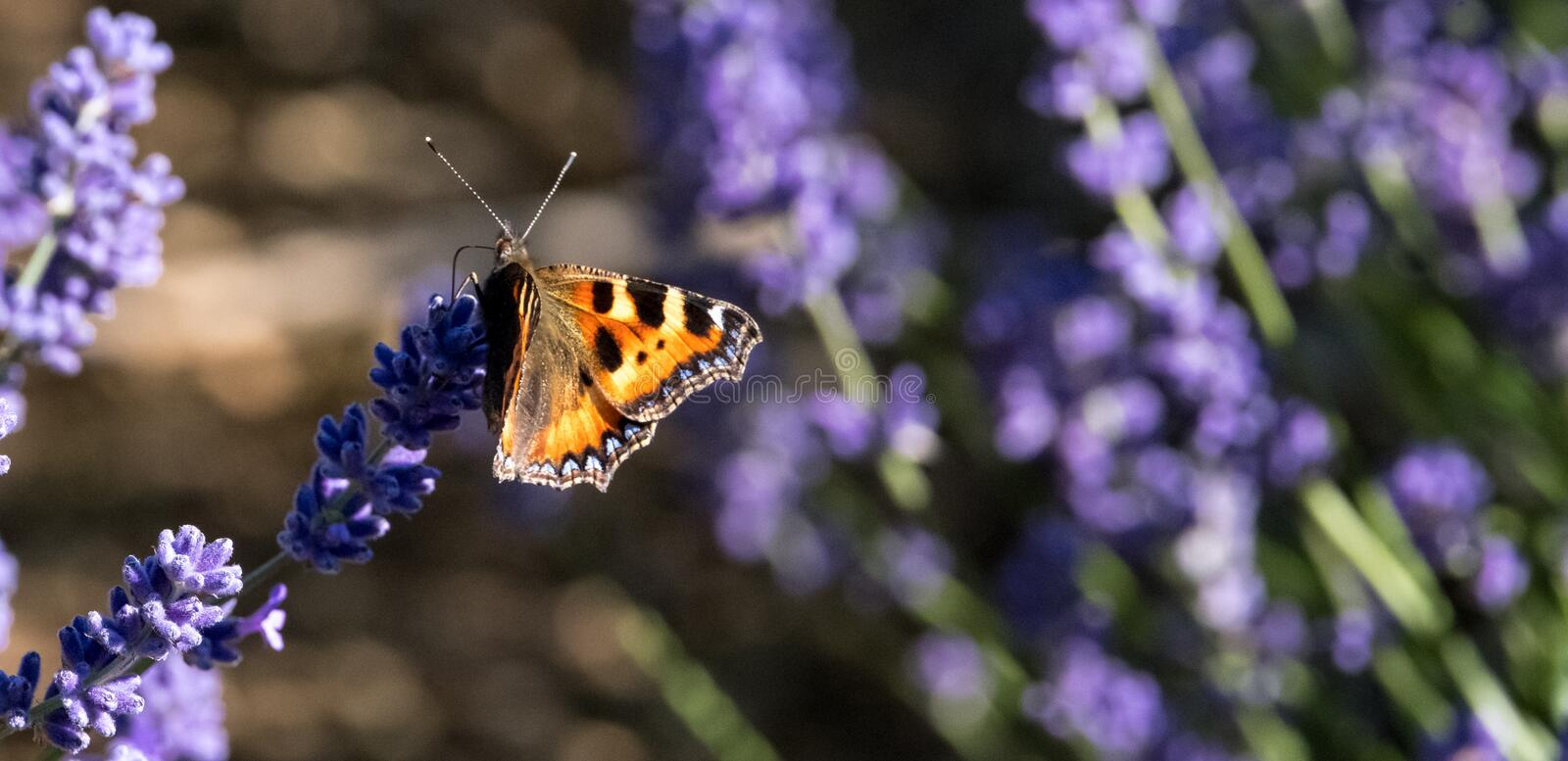 Red admiral butterfly lands on the flower head at lavender farm in the Cotswolds UK. Close up view of lavender growing on a flower farm in the Cotswolds, in royalty free stock photography