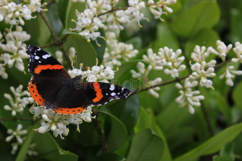 Red Admiral Butterfly on a privet bush. Red Admiral Butterfly pollinating Privet Bush and drinking nectar royalty free stock photo