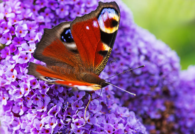 A Peacock Butterfly on a Purple Flower stock image