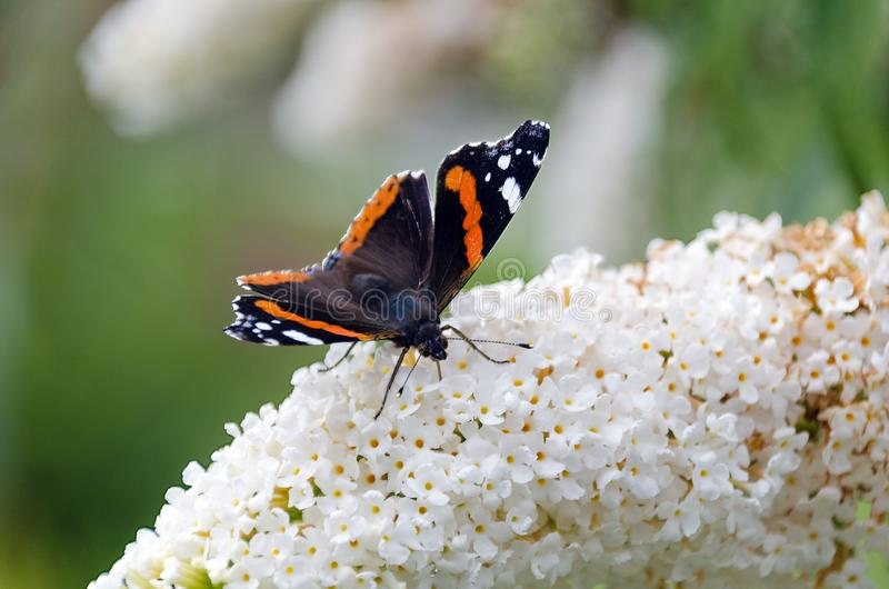 Butterfly on butterfly-bush. Red admiral butterfly sucks from the flowers of a white butterfly-bush royalty free stock images
