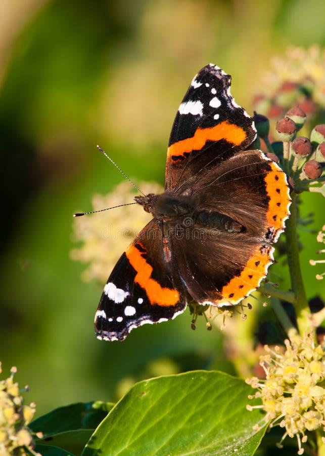 Red Admiral butterfly (Vanessa atalanta) royalty free stock photography