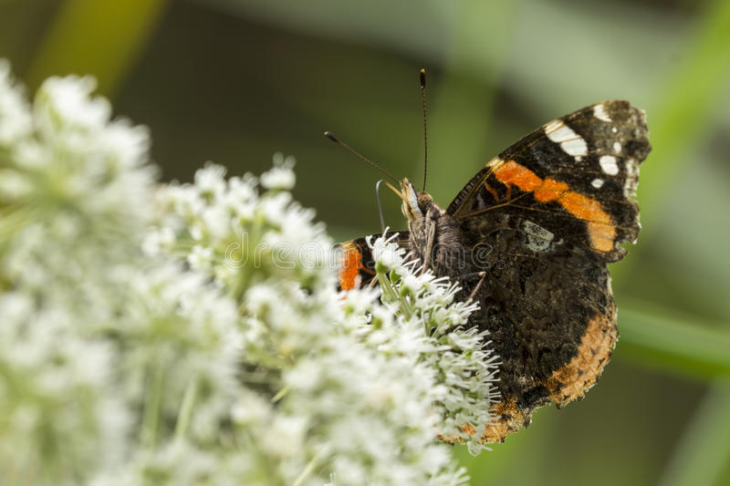 Red Admiral butterfly, Vanessa atalanta. Feeding pollen and nectar from a white flower stock images