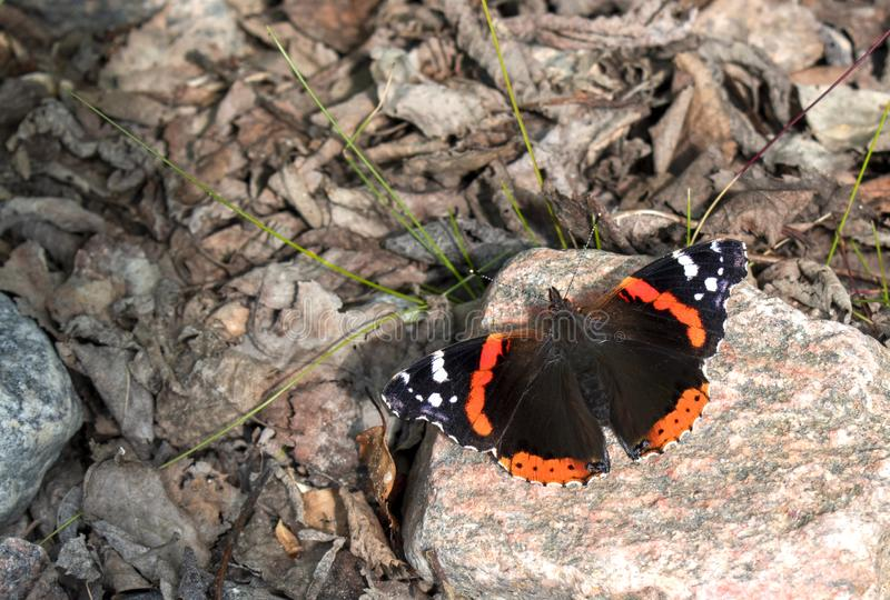 Red Admiral butterfly Vanessa atalanta on a stone stock images