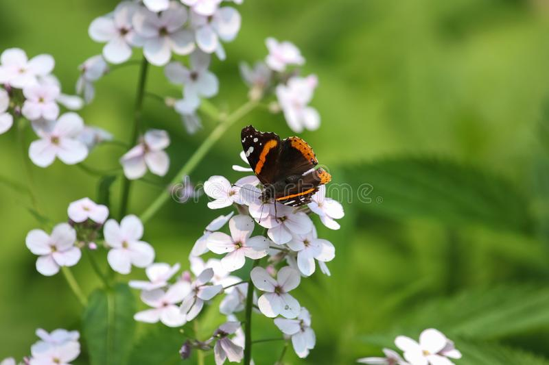 Red Admiral butterfly. A  Red Admiral butterfly on a white phlox eating nector royalty free stock images