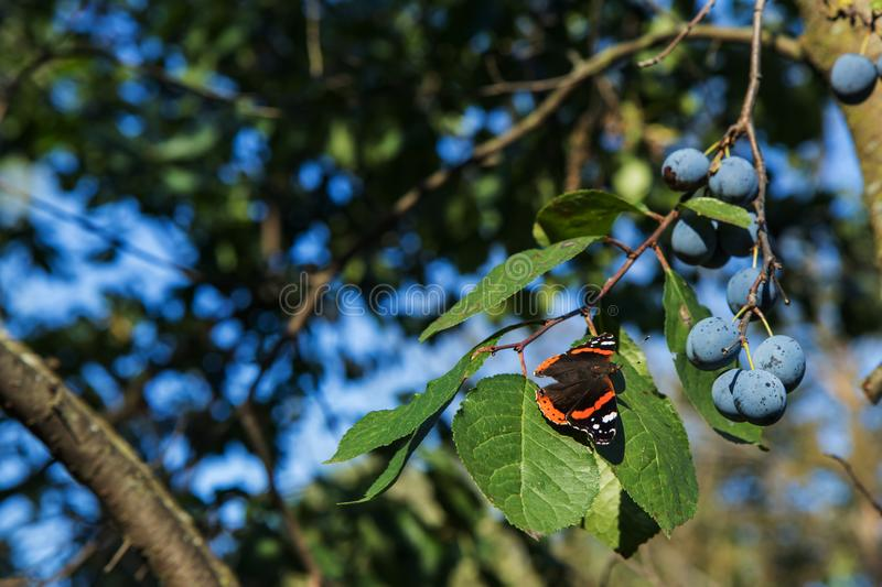 The Red Admiral is a colorful butterfly, found in temperate Europe, Asia and North America on the green leaf with purple plums. The Red Admiral Vanessa atalanta royalty free stock images