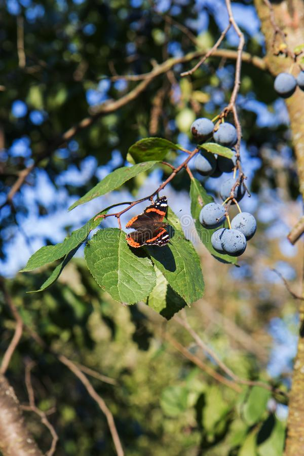 The Red Admiral is a colorful butterfly, found in temperate Europe, Asia and North America on the green leaf with purple plums. The Red Admiral Vanessa atalanta stock photo