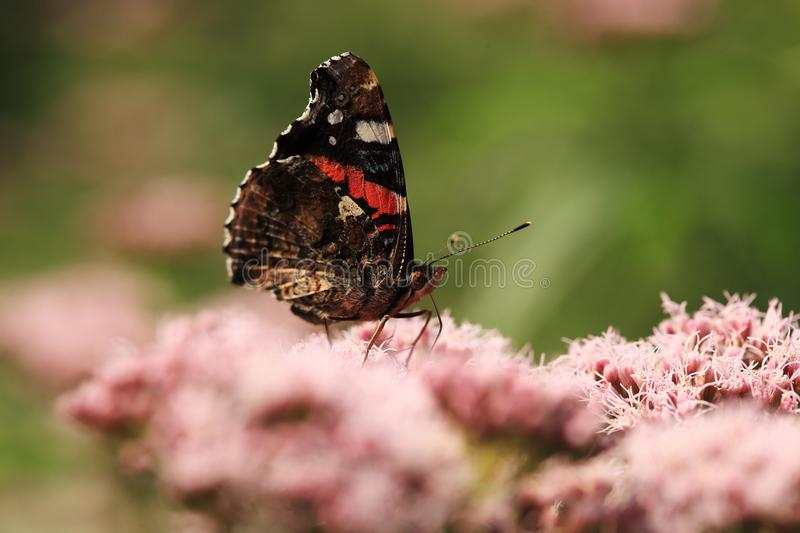 Red admiral on flower. Red admiral on plant on meadow food nectar fron flower stock image
