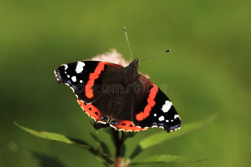 Red admiral on plant. On meadow food nectar fron flower royalty free stock photography