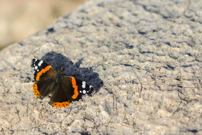 Red admiral, Vanessa atalanta, Red admirable on a stone. colourful batterfly in the stone. copy space. beauty concept stock photo