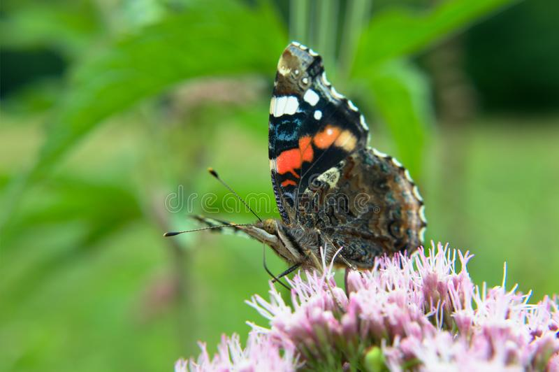 Red admiral butterfly on a flower stock images