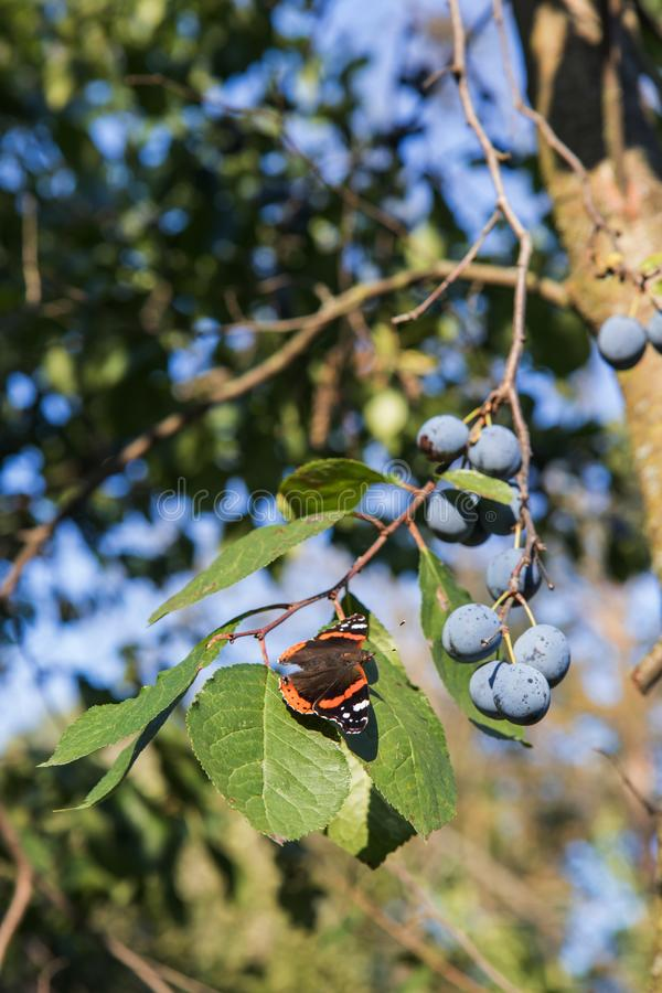 The Red Admiral is a colorful butterfly, found in temperate Europe, Asia and North America on the green leaf with purple plums. The Red Admiral Vanessa atalanta stock photography