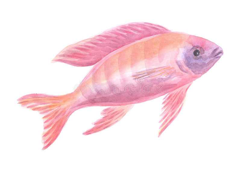 Red African cichlid stock photo